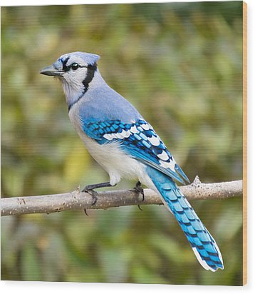North American Blue Jay Wood Print by Jim Hughes