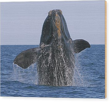 North Atlantic Right Whale Breaching Wood Print by Tony Beck