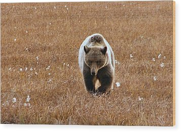North Slope Grizzly Wood Print by Adam Owen