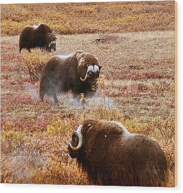 Wood Print featuring the photograph North Slope Musk Ox by Adam Owen