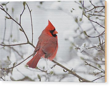 Northern Cardinal - D001540 Wood Print