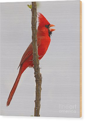 Northern Cardinal Proclaiming Spring Territory Wood Print