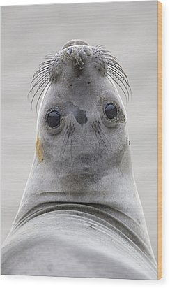 Northern Elephant Seal Looking Back Wood Print by Ingo Arndt
