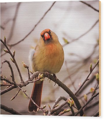 Wood Print featuring the photograph Northern Female Cardinal Pose by Terry DeLuco