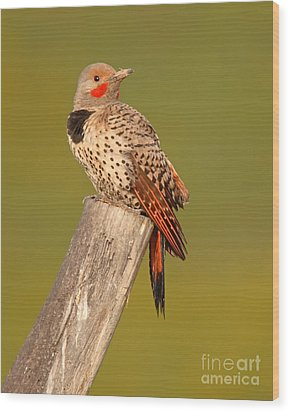 Northern Flicker Looking Back Wood Print
