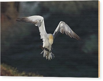 Wood Print featuring the photograph Northern Gannet In Flight 2 by Grant Glendinning