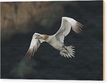 Wood Print featuring the photograph Northern Gannet In Flight by Grant Glendinning
