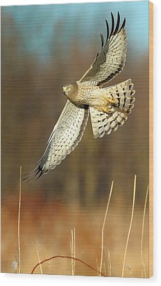 Northern Harrier Banking Wood Print