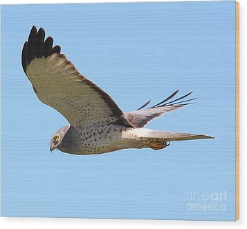 Northern Harrier In Flight Wood Print by Wingsdomain Art and Photography