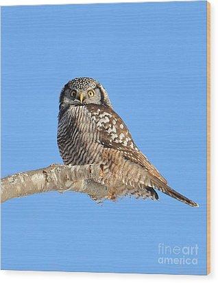 Northern Hawk-owl On Limb Wood Print