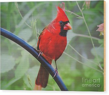 Northern Male Red Cardinal Bird Wood Print