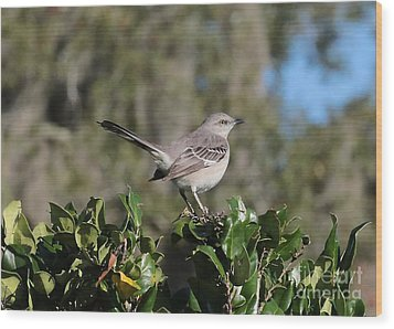 Northern Mockingbird Wood Print by Carol Groenen