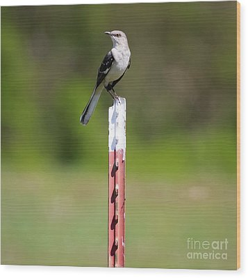 Wood Print featuring the photograph Northern Mockingbird Posing  by Ricky L Jones