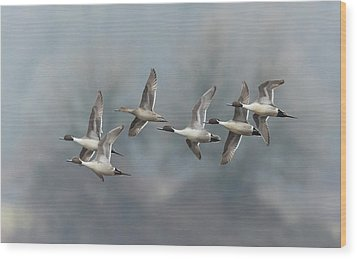 Wood Print featuring the photograph Northern Pintails In Flight by Angie Vogel