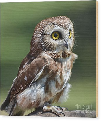 Northern Saw Whet Owl Wood Print by Amy Porter