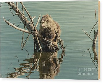 Wood Print featuring the photograph Nutria On Stick-up by Robert Frederick