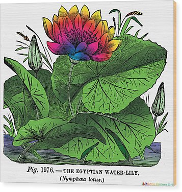 Nymphaea Wood Print by Eric Edelman