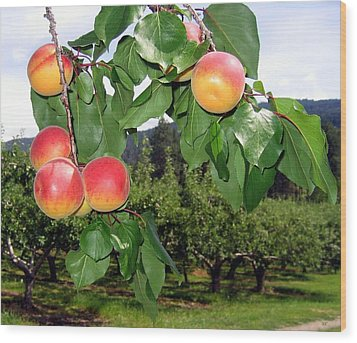 Okanagan Apricots Wood Print by Will Borden