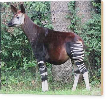 Okapi Wood Print by Laurel Talabere