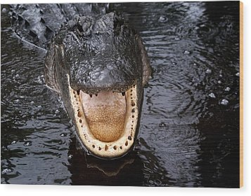 Okefenokee Alligator 1 Wood Print