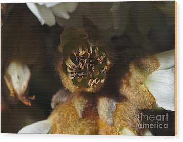 Old Loquat Tree Flower Wood Print by Angelo DeVal