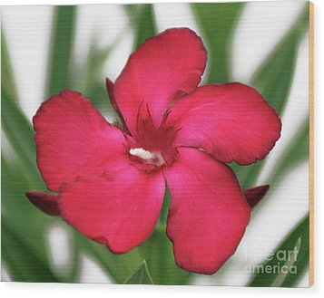 Oleander Blood-red Velvet 1 Wood Print