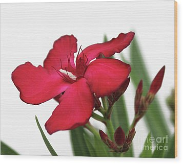Wood Print featuring the photograph Oleander Blood-red Velvet 2 by Wilhelm Hufnagl