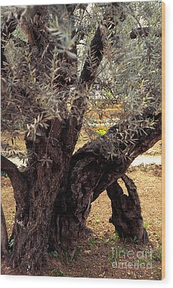 Olive Tree In The Garden Of Gethsemane Wood Print by Thomas R Fletcher