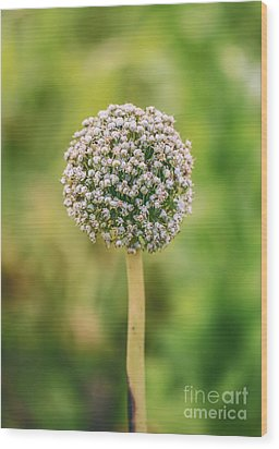 Onion Flower,onion Plant Head Wood Print by Mohamed Elkhamisy