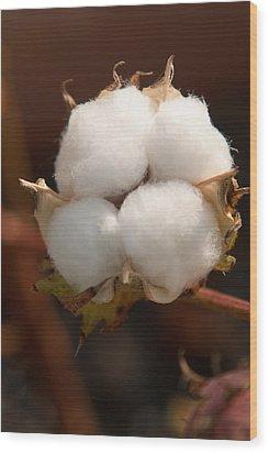 Open Cotton Boll Wood Print by Douglas Barnett