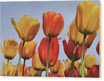Orange And Yellow Tulips With Blue Sky Wood Print by Brandon Bourdages