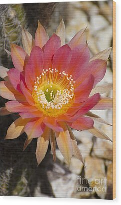 Orange Cactus Flower Wood Print