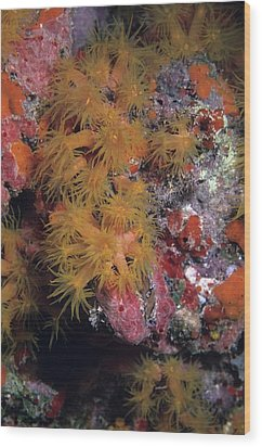 Orange Cup Coral And Sponges Wood Print by Don Kreuter