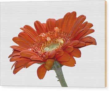 Orange Daisy Gerbera Flower Wood Print by Pixie Copley