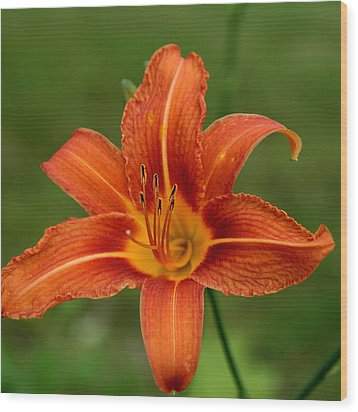 Orange Day Lily No.2 Wood Print