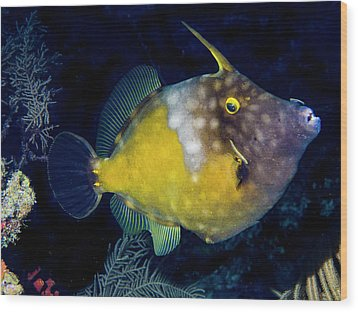 Wood Print featuring the photograph Orange Filefish by Jean Noren