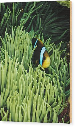 Orange-fin Anemone Fish, Amphiprion Wood Print by James Forte