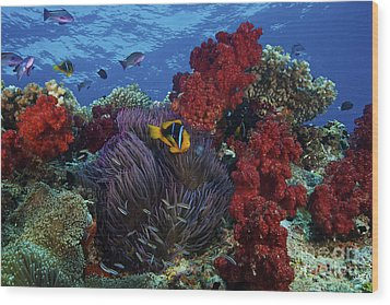Orange-finned Clownfish And Soft Corals Wood Print by Terry Moore