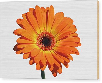 Orange Gerber Daisy Perfection Wood Print by Juergen Roth