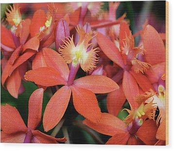 Orange Pink Epidendrum Orchid Wood Print