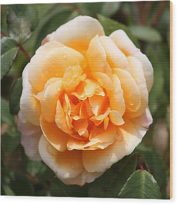 Orange Rose Square Wood Print by Carol Groenen