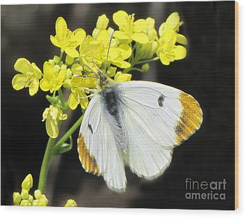 Wood Print featuring the photograph Orange Tip Butterfly by Jacqi Elmslie