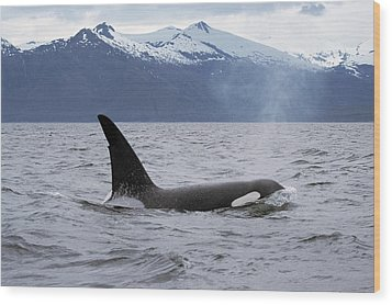 Orca Orcinus Orca Surfacing Wood Print by Konrad Wothe