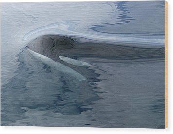 Orca Surfacing Southeast Alaska Wood Print by Flip Nicklin
