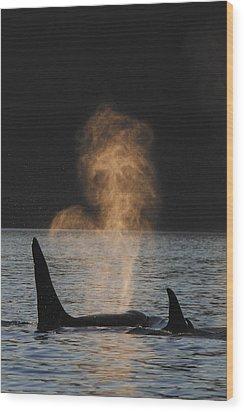 Orcas Ocinus Orca Spouting Alaska Wood Print by Hiroya Minakuchi