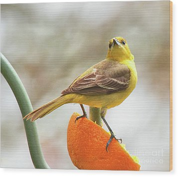 Wood Print featuring the photograph Orchard Oriole by Debbie Stahre