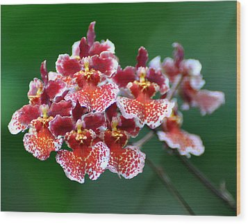 Orchid 31 Wood Print by Marty Koch