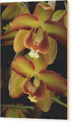 Orchid Eriopsis Sceptrum, Sipapo Tepui Wood Print by Mark Moffett