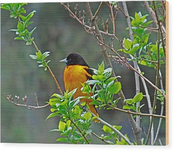Oriole On The Lilac Wood Print