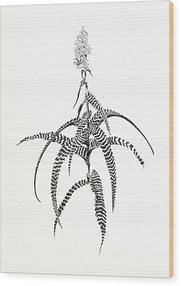 Orthophytum Gurkenii Wood Print